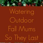 MOM Tip: Watering Outdoor Fall Mums So They Last